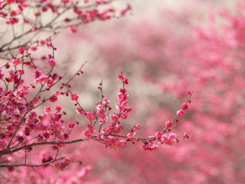 sakura-cerejeira